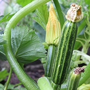 Courgette, le fruit plein de ressources